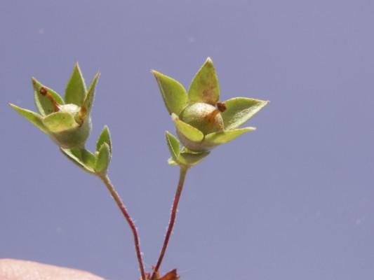 אנדרוסק חד-שנתי Androsace maxima L.
