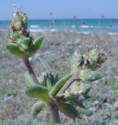 לחך החוף Plantago squarrosa Murray