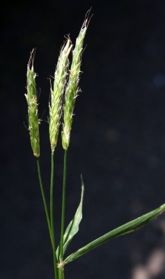 זנב-שועל ארוך Alopecurus myosuroides Huds.