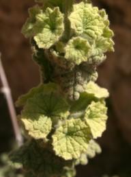 אוגן הגביע חרוק או משונן, פתוח לרווחה, קוטרו 1 ס