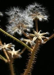 הזירעונים ההיקפיים בעלי ציצית קטנה ונותרים צמודים למעטפת ולצמח האם.
