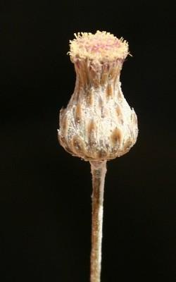 צמרנית אדומית Phagnalon barbeyanum Asch. & Schweinf.
