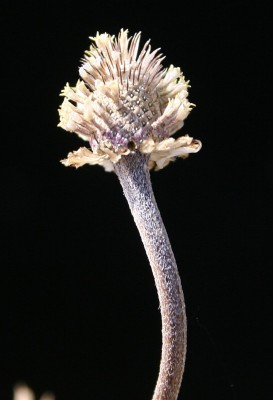 Anthemis pseudocotula Boiss.