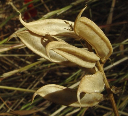 קדד ספרדי Astragalus boeticus L.