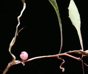 פקעת, הדומה לזו של תפוח אדמה, מפותחת על קנה-שורש ומאפשרת לצמח לתפקד כרב-שנתי.