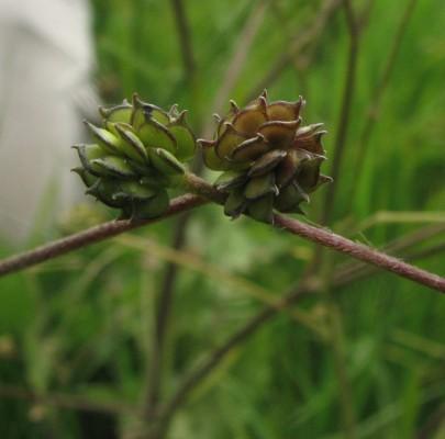 נורית קושטא Ranunculus constantinopolitanus (DC.) D'Urv.