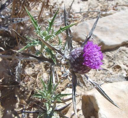 חורשף חום-קשקשים Atractylis phaeolepis Pomel