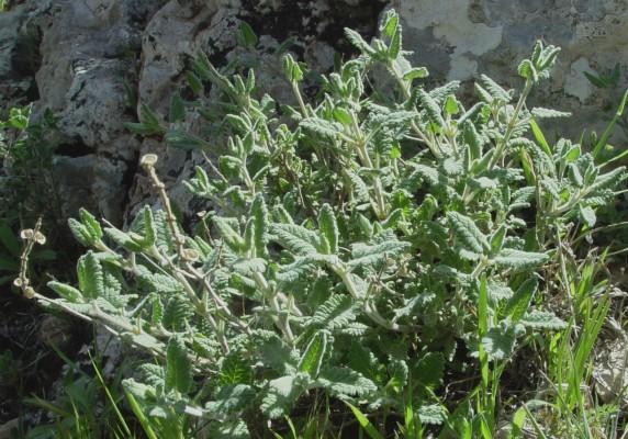 קערורית שיחנית Scutellaria tomentosa Bertol.
