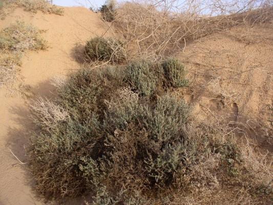 אוכם תולעני Suaeda vermiculata J.F.Gmel.