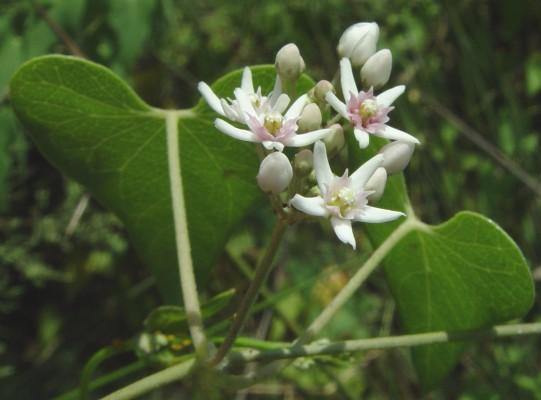 חנק מחודד Cynanchum acutum L.