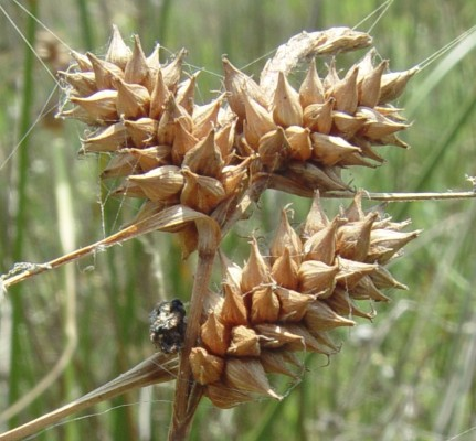 כריך רווח Carex extensa Good.