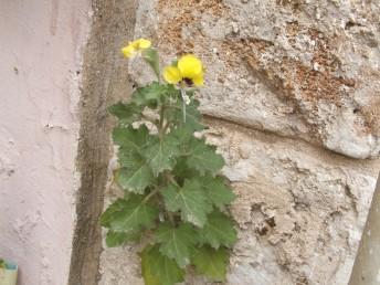 העלים בעלי אונות חדות או בעלות שינון חד. עשב רב-שנתי נפוץ על חומות וסלעים ברוב חלקי הארץ.