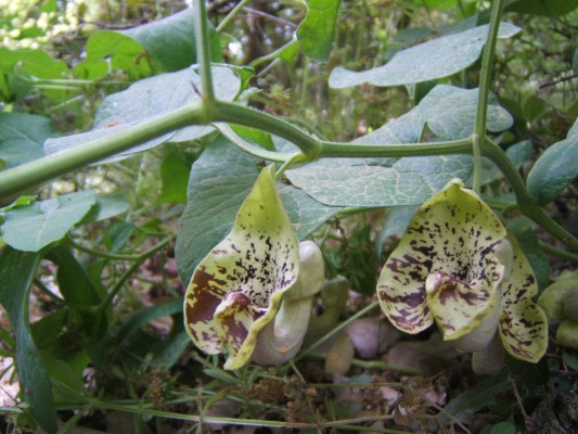 ספלול ססגוני Aristolochia paecilantha Boiss.