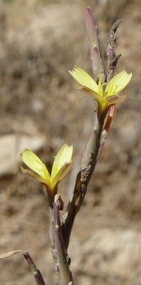 Lactuca viminea (L.)J. & C.Presl.