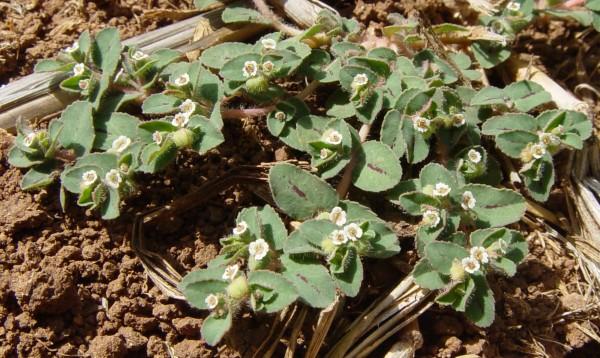 חלבלוב עגול-עלים Euphorbia chamaesyce L.