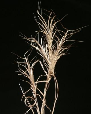 ברומית מאוגדת Bromus fasciculatus C.Presl