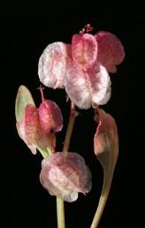 קשוות הפרי שוות או כמעט שוות, שפתן תמימה, כפופה מעט ואין עורק בולט בשוליה.
