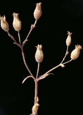 ציפורנית מעורקת Silene coniflora Otth