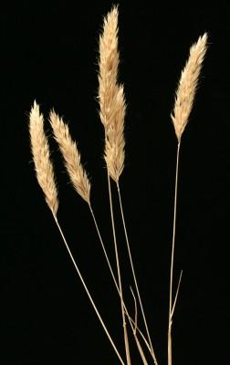 שילשון גלומני Trisetaria glumacea (Boiss.) Maire