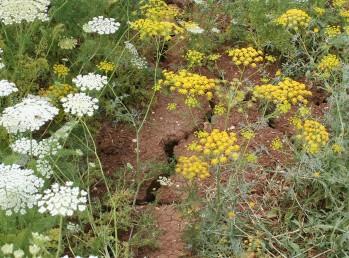 יוצרים מרבדים צהובים בתחילת הקיץ בקרקעות חרסיתיות עמוקות.