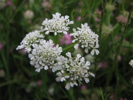 יינית בינונית Oenanthe silaifolia M.Bieb.