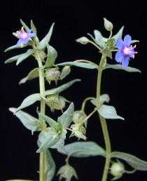 עוקץ הפרח < או = לעלה החופה. צבע הכותרת כחול בהיר (השמאלי). קוטר הפרח של מ. קטנה < מ. השדה.