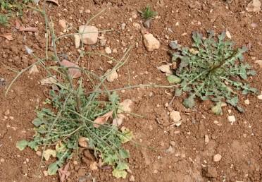 מבין עלי-השושנת (פרט ימני) מתפתח גבעול מסועף נושא תפרחות  חסר עלים או בעל עלים קשקשיים.