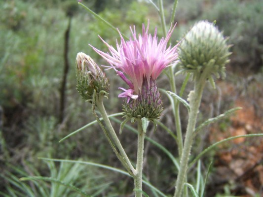 ארנין ההרים Ptilostemon chamaepeuce (L.) Less.