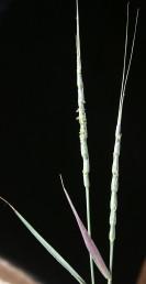 השיבולת בעלת 11-7 שיבוליות, אורכה 15-10 ס