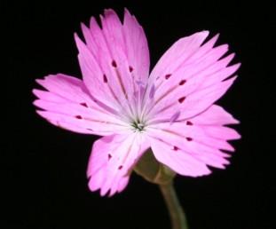 צמחים חד-שנתיים, עלי-הכותרת על פי רוב בעלי 3 כתמים כהים.