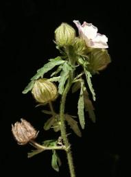 עשבים חד-שנתיים הגדלים בשדות שלחין. העלה מחולק ל-5-3 אונות כעין כף יד. ההלקט כלוא בגביע נפוח מעורק.