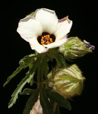 Hibiscus trionum L.