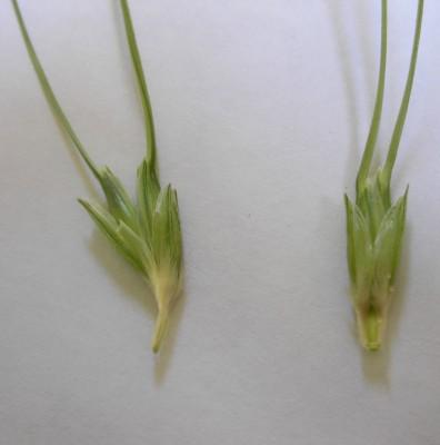 Triticum dicoccoides (Koern. ex Asch. & Graebn.) Schweinf.