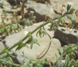 עשבים חד-שנתיים תכולי-כותרת. גדלים בערבות בני-שיח, נדירים.