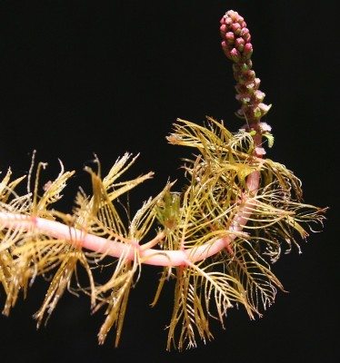 אלף-עלה משובל Myriophyllum spicatum L.