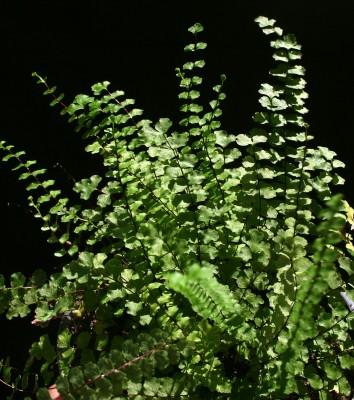 אספלנון הגליל Asplenium trichomanes L.