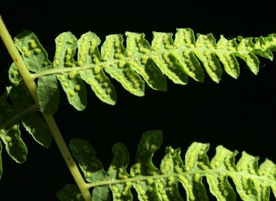 גפית הביצה Thelypteris palustris Schott
