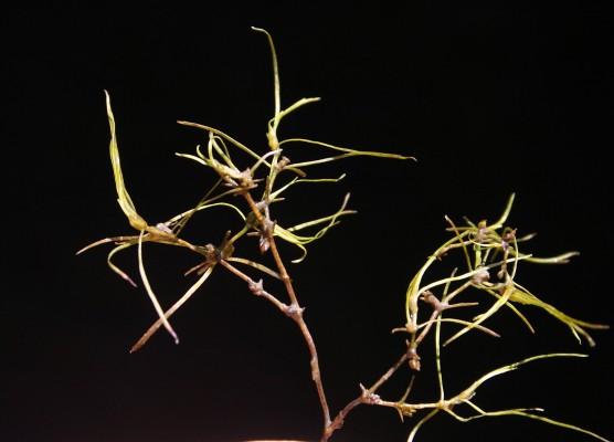 חוטית הביצות Zannichellia palustris L.