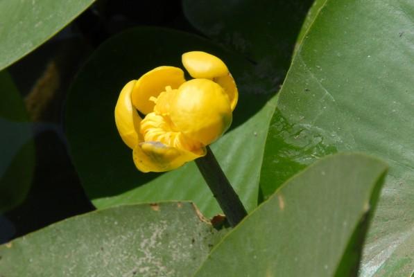 נופר צהוב Nuphar lutea (L.) Sm.