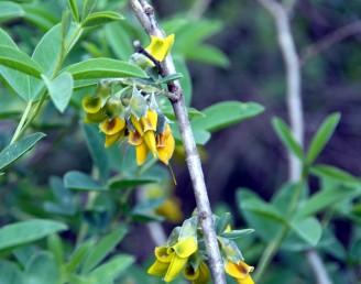 שיחים בגובה 2-1 מ' בעלי ריח רע, משירים עליהם בקיץ, 3 העלעלים יןשבים, עלי-הלוואי שעירים.