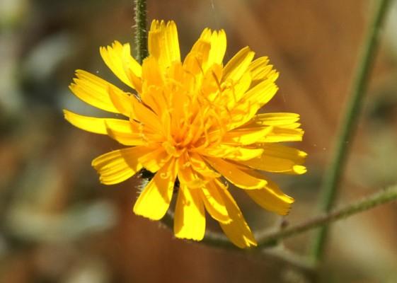 קיטה רותמית Tolpis virgata (Desf.) Bertol.