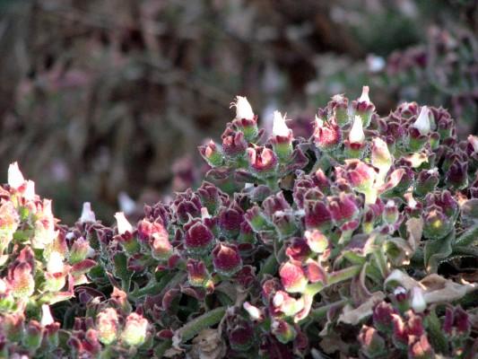 אהל הגבישים Mesembryanthemum crystallinum L.