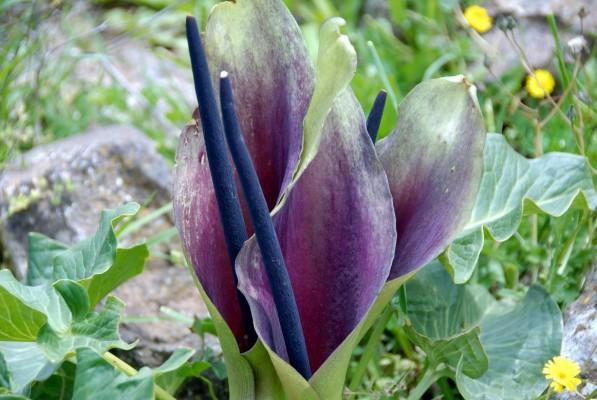 Arum palaestinum Boiss.
