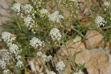 עשבים רב-שנתיים זקופים, גדלים בגולן, בחרמון ובאדום.הפרחים לבנים ערוכים בתפרחת דמוית סוכך.