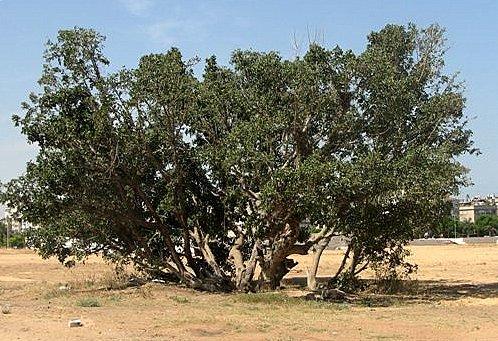 פיקוס השקמה Ficus sycomorus L.
