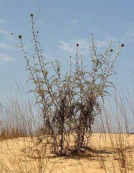 קיפודן פלשתי Echinops philistaeus Feinbrun & Zohary