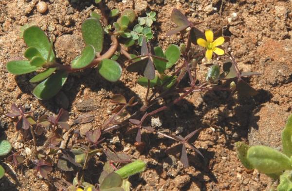 חמציץ קטן Oxalis corniculata L.