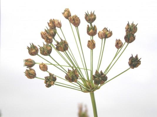 Butomus umbellatus L.
