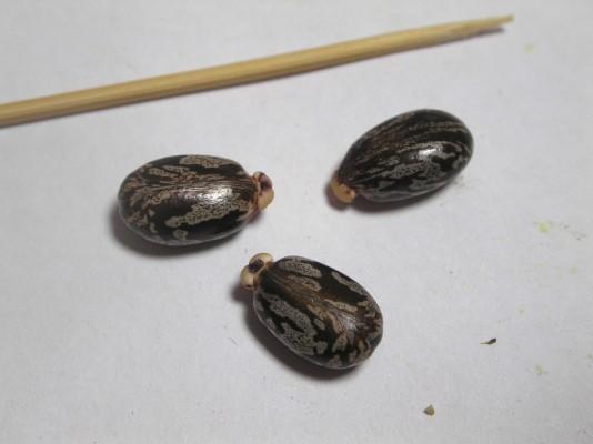 קיקיון מצוי Ricinus communis L.