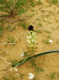 צמחים בעלי עלה יחיד, גדלים בחול או בקרקעות חוליות.